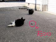 石コロの魅力にハマる猫③