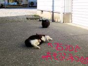 石コロの魅力にハマる猫④