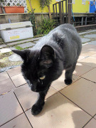 にゃんこスタッフ黒猫クロコ