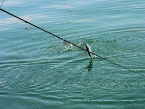 釣りあげられる瞬間のソーダガツオ