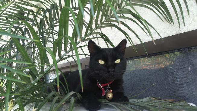 黒猫スタッフ「クロコ♀」
